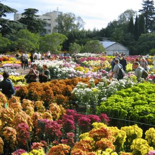 Бал Хризантем в Никитском ботаническом саду в Крыму